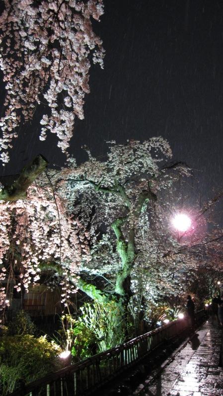 雪中寒桜 たて 1.jpg