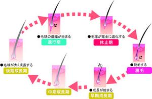 正常 修飾 ヘアサイクル.jpgのサムネール画像
