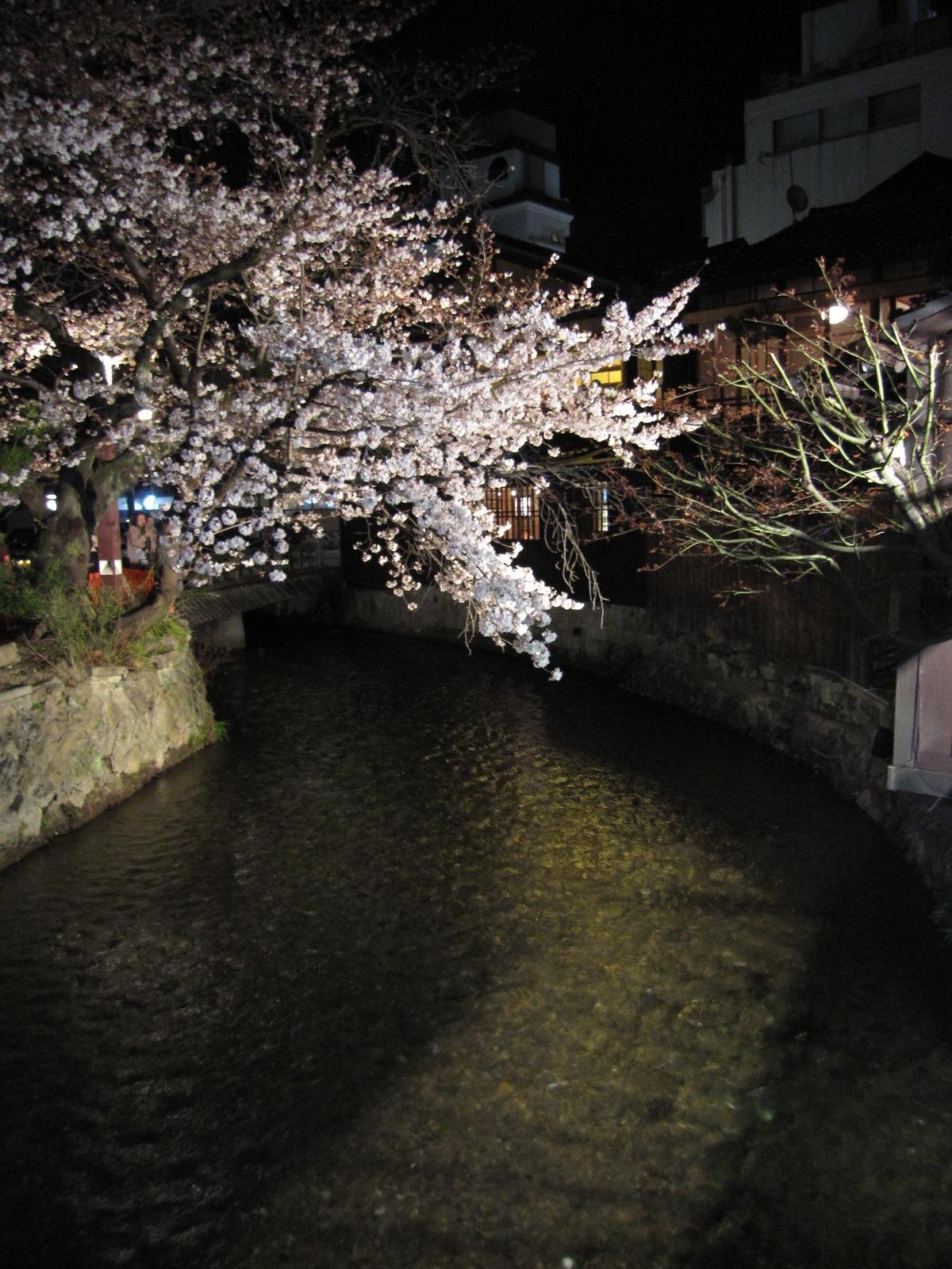 白川桜.JPG
