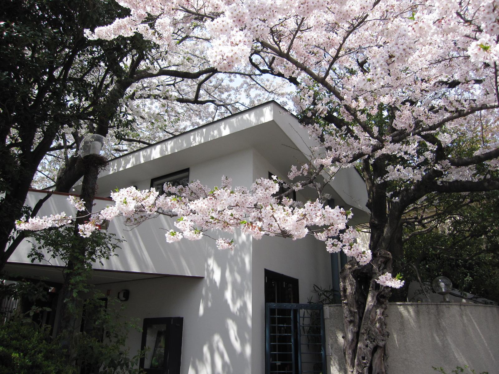 御殿山桜.JPG